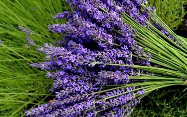 Lavanda está entre as plantas que combatem o estresse