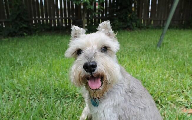 Cão da raça schnauzer miniatura