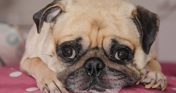 Como agir em relação ao câncer de mama em cadelas