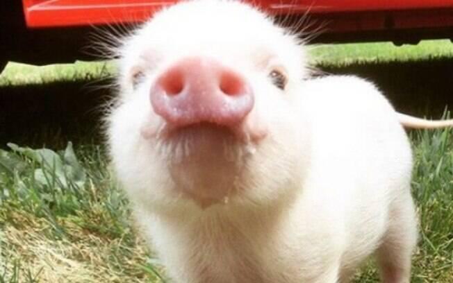 Geralmente o porco doméstico possui um porte pequeno, mas os de porte grande também podem viver em residências