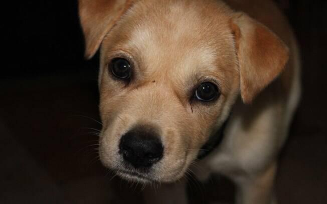 A hepatite infecciosa canina atinge principalmente cachorros com menos de um ano de vida