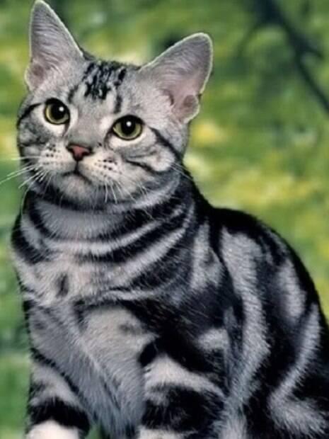 Todos os gatos sabem ser carinhosos, mas algumas raças se sobressaem