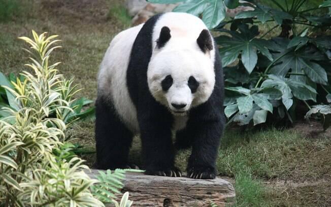 Após a morte de panda gigante, chineses se manifestaram contra o empréstimo deste animal à Tailândia