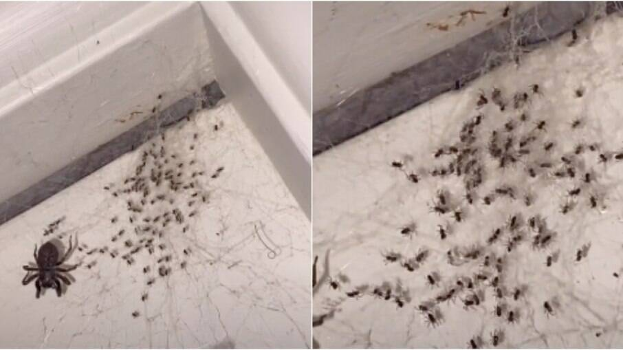 Jovem avistou aranha com filhotes no quarto de casa