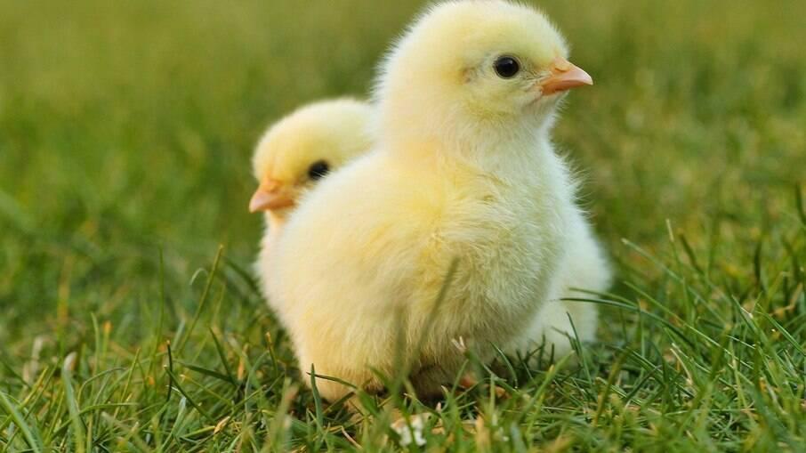 Galos e galinhas de estimação só precisam tomar vacina uma única vez na vida