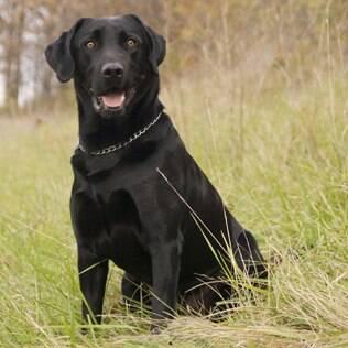 Labrador Retriever - undefined