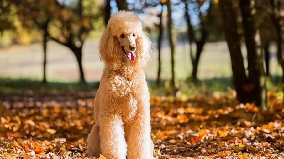 Poodle gigante é o primeiro cão na Espanha a ser identificado com a variante britânica do coronavírus