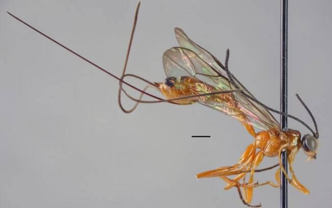 Epirhyssa johanna, uma das espécies descobertas pelos pesquisadores em Uganda