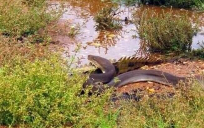 Píton engole crocodilo