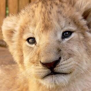 Na hora da restituição, o leão fica fofo