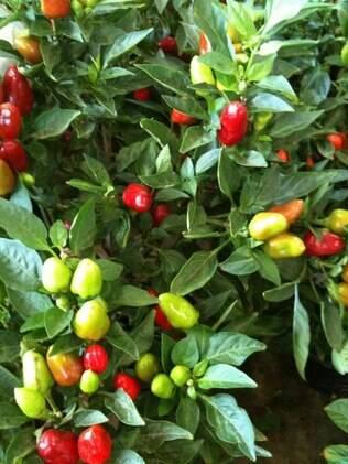 A paisagista Anna Saraceni indica diversas variedades de pimentas para alegrar a casa