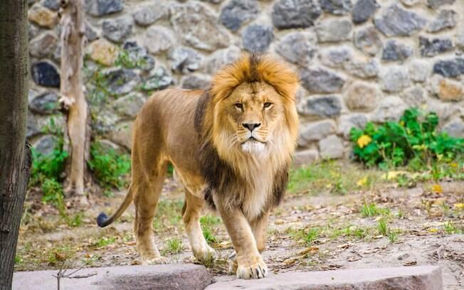 Ao perceber que estava em perigo, o filhote tentou fugir dos leões.