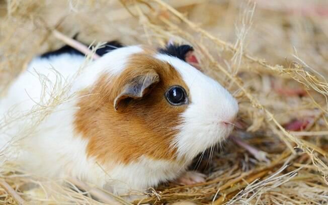 Não se esqueça de trocar o feno para porquinho da Índia todos os dias e, se notar que o animal deixou de comê-lo, leve-o ao veterinário