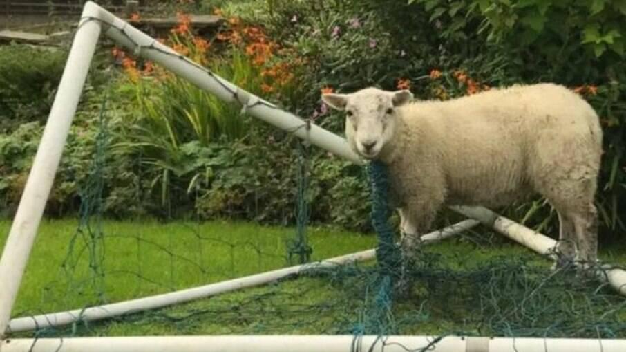 Ovelha fica presa em rede de futebol e precisa ser resgatada