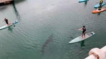 Tubarão-elefante interrompe aula de stand-up paddle no Reino Unido