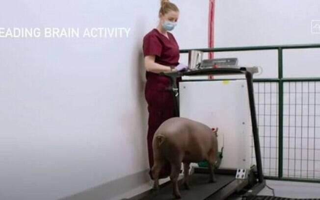 Em testes, porco teve chip implantado no cérebro