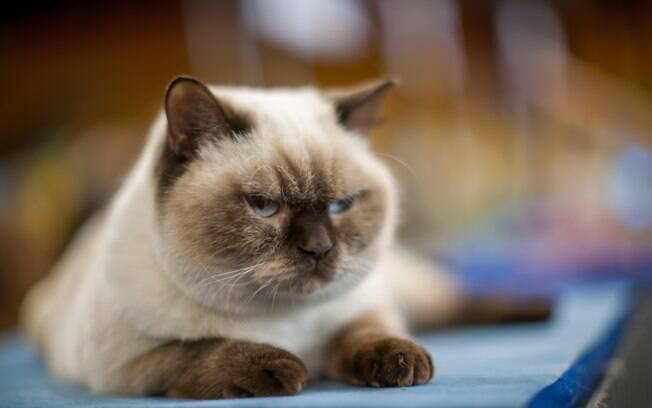 Saiba a importância de usar anti-pulgas nos felinos