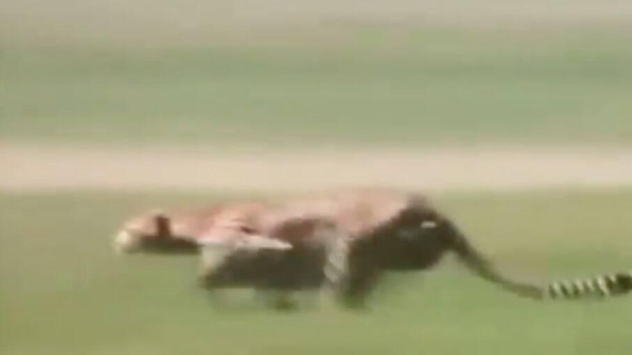 Imagens mostram guepardo correndo atrás de sua presa