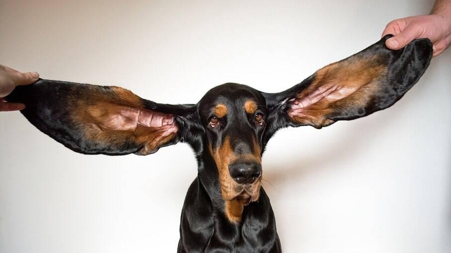 As orelhas de Lou medem 34 centimetros