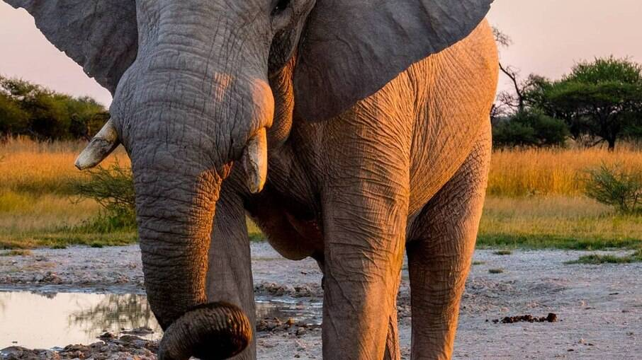 elefante na africa