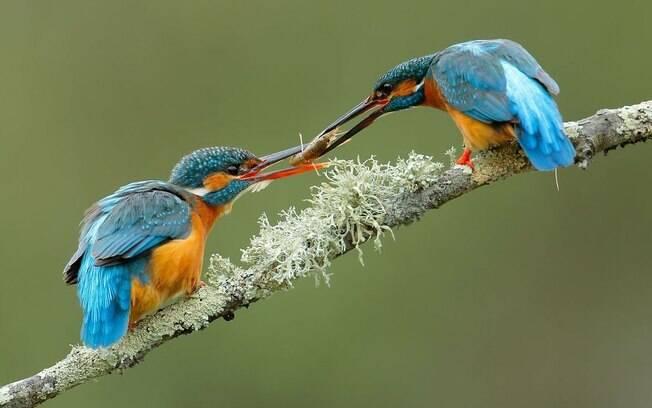 Pássaro macho cortejando a fêmea com comida