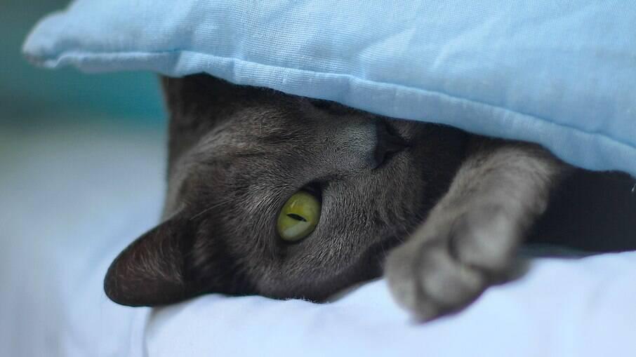 Lendas dizem que os Korat trazem boa sorte a quem ganha um desses gatinhos de presente