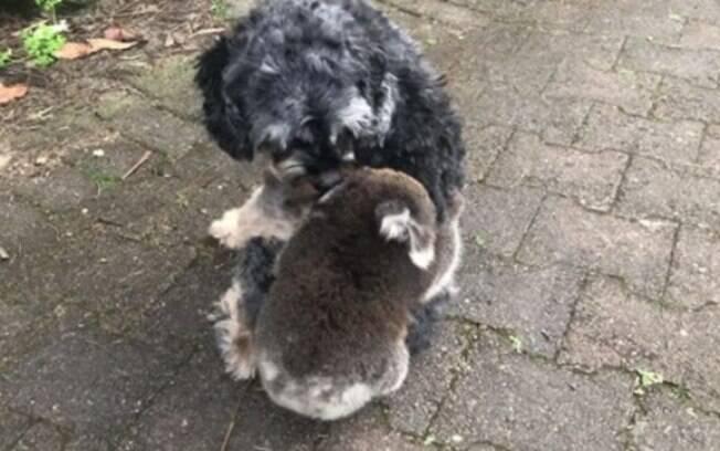 Bebê coala abraçou cachorro na Austrália