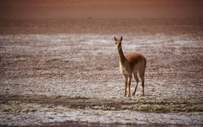 O Salar de Tara é um dos melhores lugares para ver a vida selvagem
