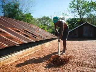 Nas fazendas de Ilheús, os grãos de cacau secam expostos aos causticante sol da Bahia