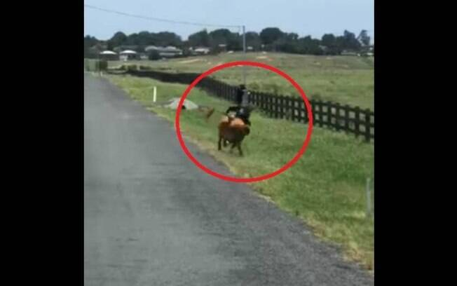 Vaca furiosa persegue e atinge bombeiro por trás; ele não se feriu