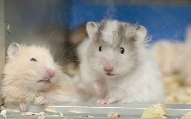 Cauda molhada é uma das principais doenças que atingem esse roedor