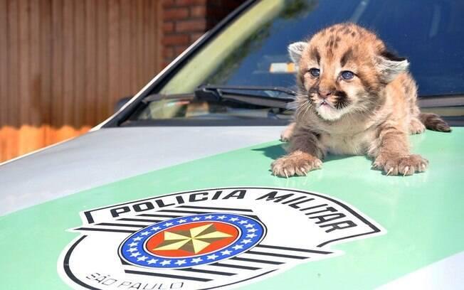 Filhote de onça parda foi resgata e encaminhada para o zoológico