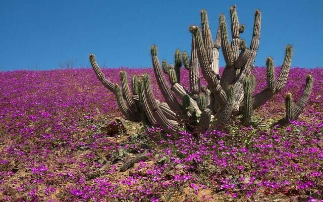 Flores cobrem de Deserto de Atacama no Parque Nacional Llanos de Challe