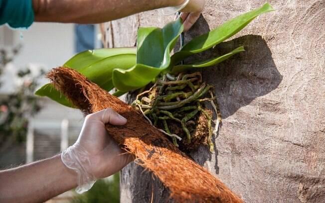 Encoste a planta no tronco da árvore e cubra o substrato com a placa. Deixe para fora apenas as folhas e o caule. Foto: Edu Cesar/Fotoarena