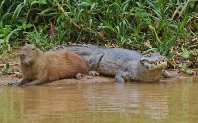 Uma capivara de boaça do lado de um perigoso crocodilo que nesse momento está pensando em nada.