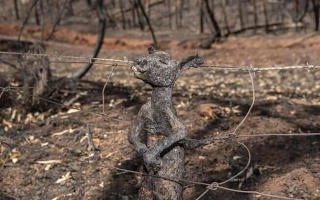 Filhote de canguru fica preso a cerca nas colinas de Adelaide e morre carbonizado