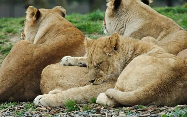 Agentes encontraram crânio e calças de caçador, após ele ter sido devorado por leões