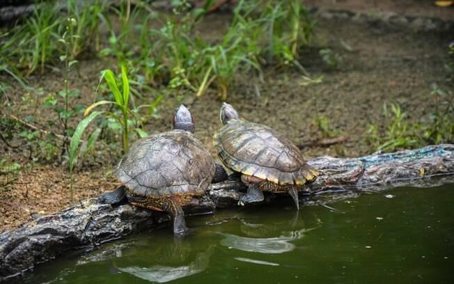 Tartarugas adoram passar alguns momentos fora da água para tomar sol