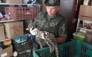 Gato-do-mato é resgatado pela Polícia Militar Ambiental no interior de São Paulo