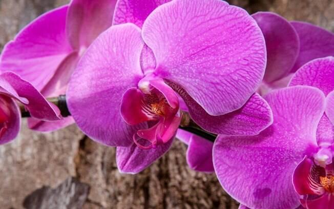 O nome da orquídea tem relação à semelhança de suas flores com o formato de mariposas em voo. Prepare-se, vai começar o passo-a-passo. Foto: Edu Cesar/Fotoarena