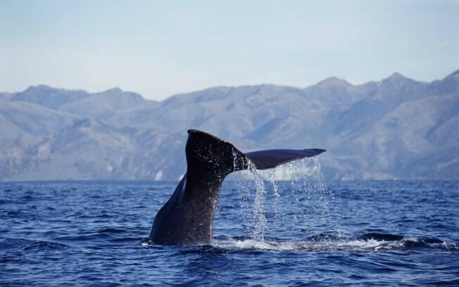 Baleias podem ser vistas durante o ano todo na cidadezinha de Kaikoura