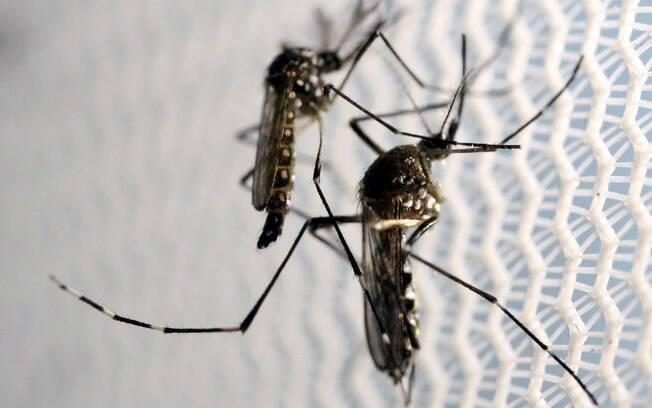 O mosquito Aedes aegypti é o vetor de transmissão do zika vírus, dengue e chikungunya