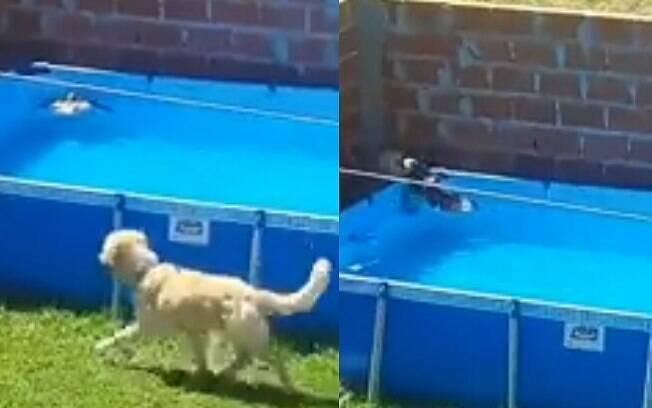 O cachorro Yago fazendo o resgate do pombo que estava se afogando na piscina