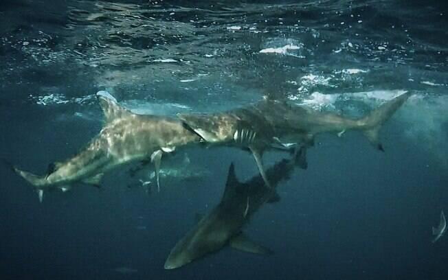 Foto impressionante flagrou tubarão engolindo a cabeça de outro tubarão
