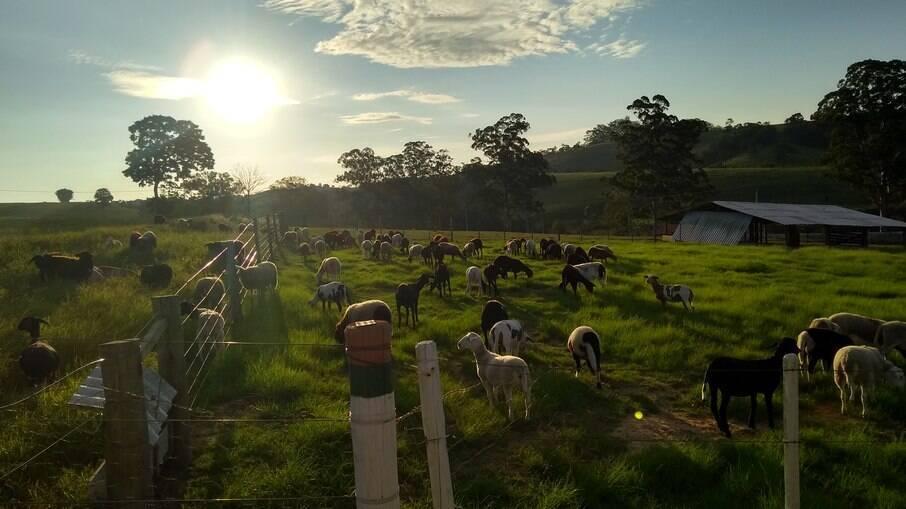 Ovinos à pasto: cuidados com o manejo diminui o prejuízo causado pela ação de predadores.