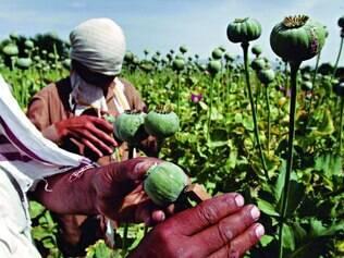 Plantação. Trabalhadores rurais fazem a colheita em uma plantação de ópio, localizada no Afeganistão