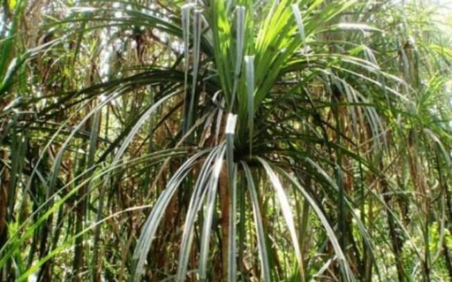 Até agora, todas as vezes que os cientistas encontraram a planta, encontraram também kimberlito, que pode abrigar diamantes