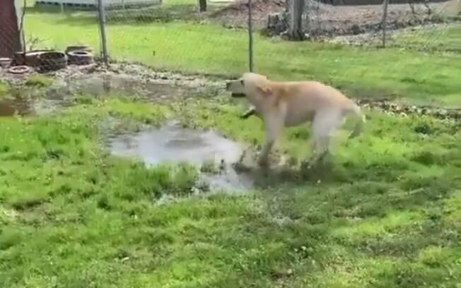 Vídeo de cão descobrindo poça d´água é a coisa mais fofa que você vai ver