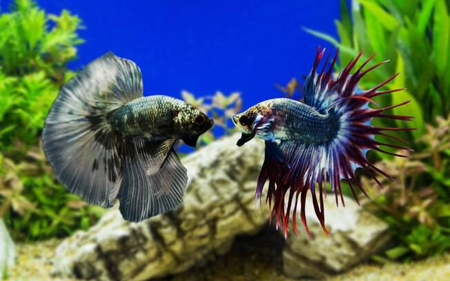 O betta não se dá bem com seus companheiros de espécie, por isso é conhecido por peixe de briga siamês