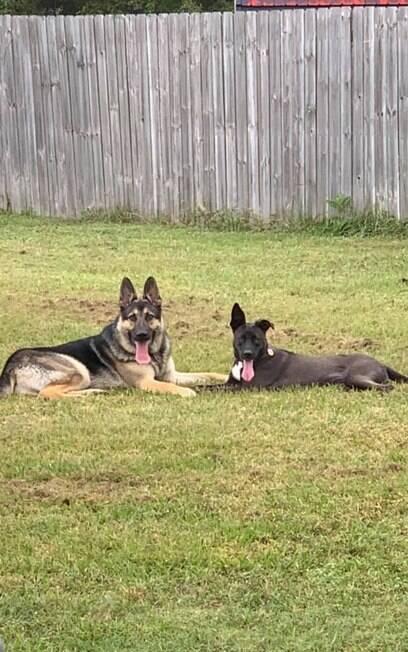 Cães juntos